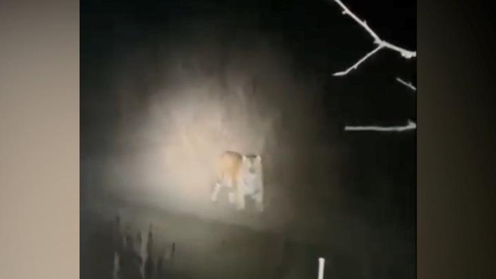 В Приморье охотники спасались от тигра на дереве. Видео