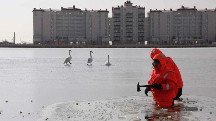 Спасатели помогли замерзавшим на озере Сасык-Сиваш лебедям