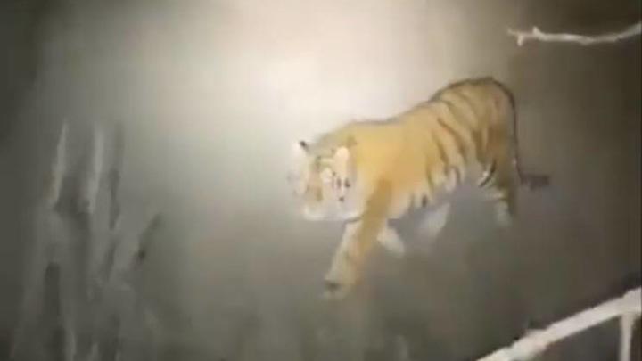 В Приморье тигр загнал охотников на дерево