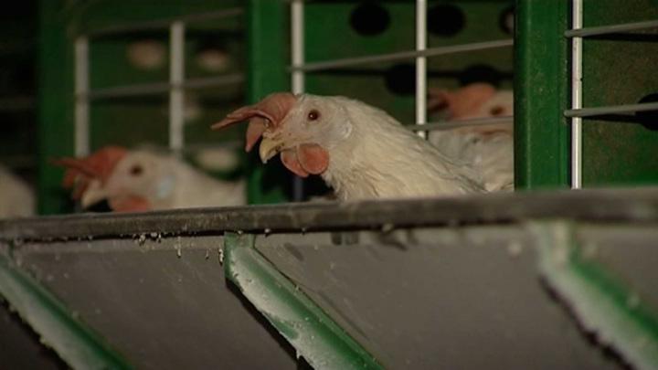 Птичий грипп выявлен у семи сотрудников птицефабрики на юге России