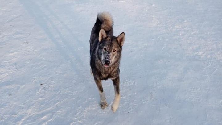 Новосибирские дети боятся ходить в школу из-за нападения бродячих собак