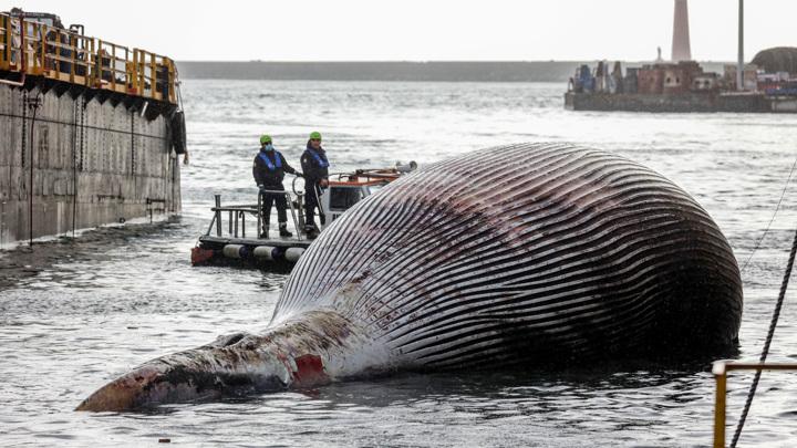 У берегов Италии обнаружили огромного мертвого кита