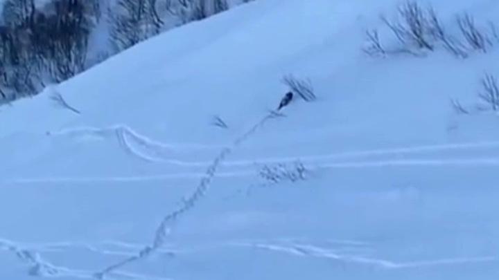 На горнолыжном курорте в Сочи к туристам вышел дикий медведь