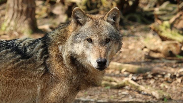 Превращение волка в собаку произошло в Сибири, считают учёные.