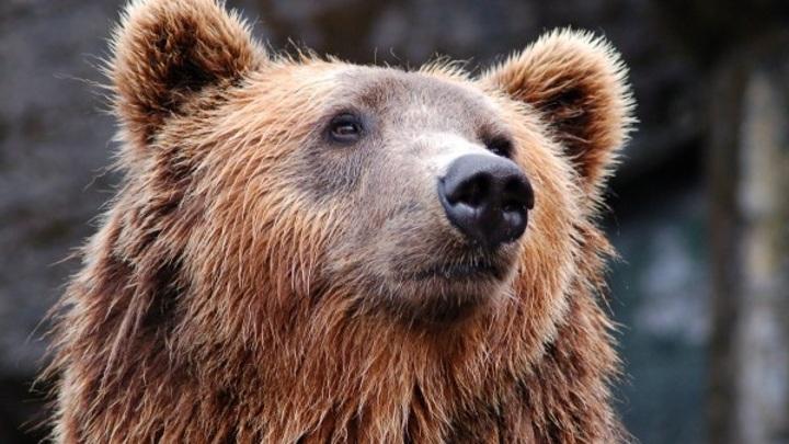 """Около пансионата """"Клязьминское водохранилище"""" очевидцы засекли бурого медведя"""