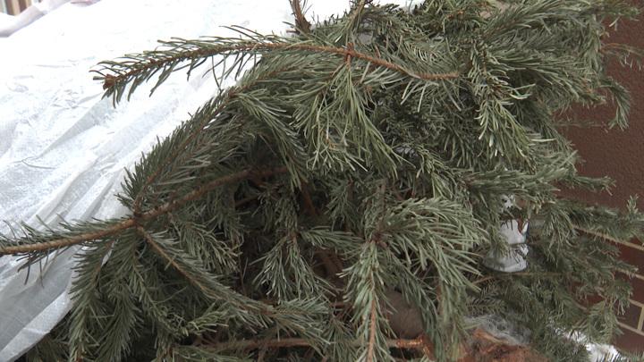 Калининградские елки пойдут на компост