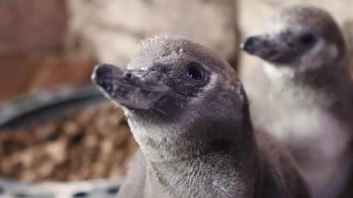 """""""Беби-бум"""" в Приморском океанариуме: сразу восемь пингвинят появились на свет у четырех пар"""