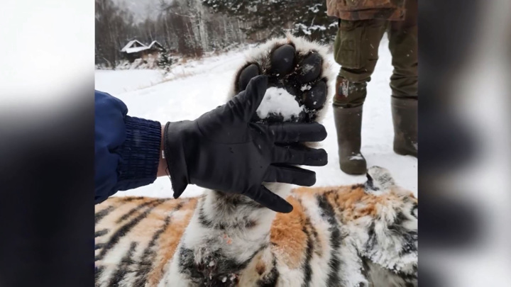 В Ванинском районе застрелили агрессивную тигрицу