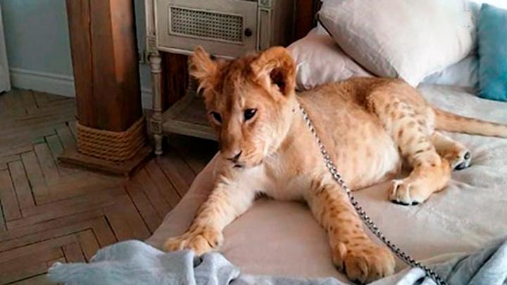 Нашли модель. В Петербурге спасли львенка, которого использовали для фотосессий