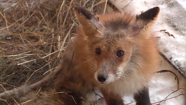 В Вологде зоозащитники и местные жители нашли и выходили израненного лиса
