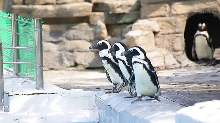 Красноярские пингвины сыграли в керлинг