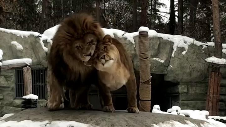 Влюбленные новосибирские львы готовятся к Дню святого Валентина
