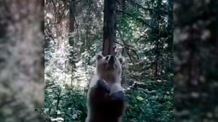 Пермский заповедник выложил зажигательные танцы медведя