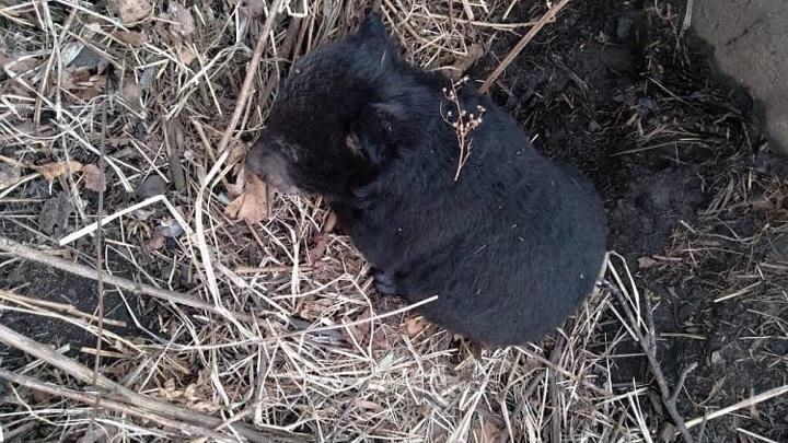 В Приморском крае детеныша медведицы, напавшей на туриста, пришлось забрать спасателям