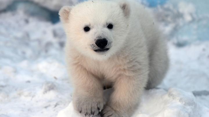 В Красноярске наступил Год белого медведя
