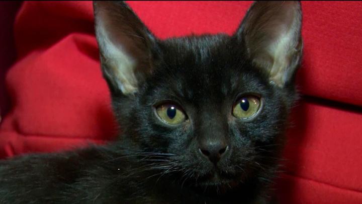 В Уфе выводят новую идеальную породу кошек