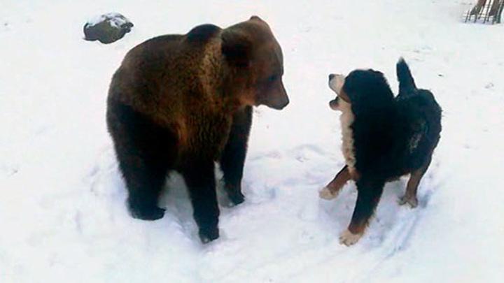 В контактном зоопарке Ленобласти медведица подружилась с собаками