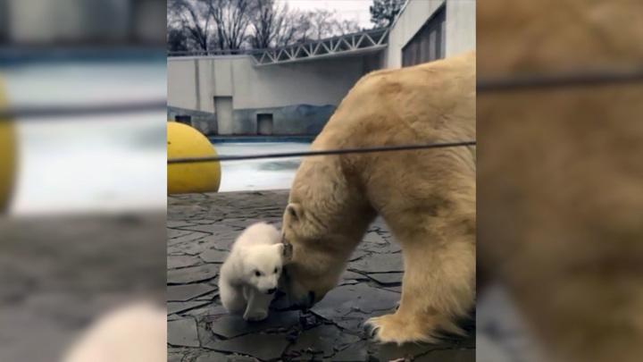 Ростовский зоопарк показал первую прогулку медвежонка со своей мамой
