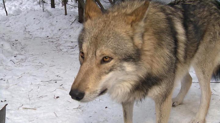 Они не терпят фамильярности: репортаж из уникального приюта для  волков