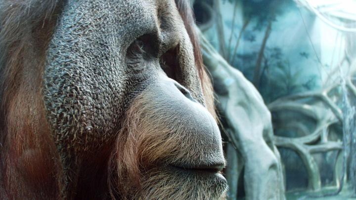 В США привили орангутанов и шимпанзе