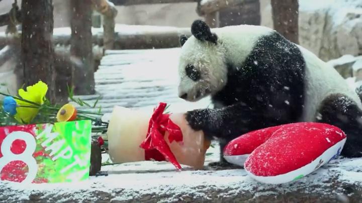 Груша для панды Диндин и рыба пингвинам: что дарили на праздник в Московском зоопарке