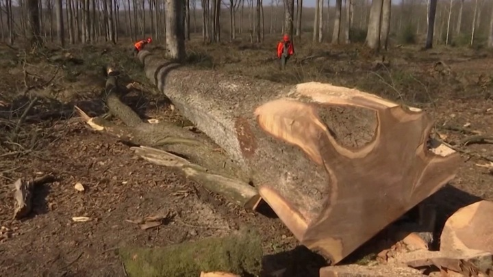 Во Франции заготовят 200-летние дубы для реставрации Собора Парижской Богоматери