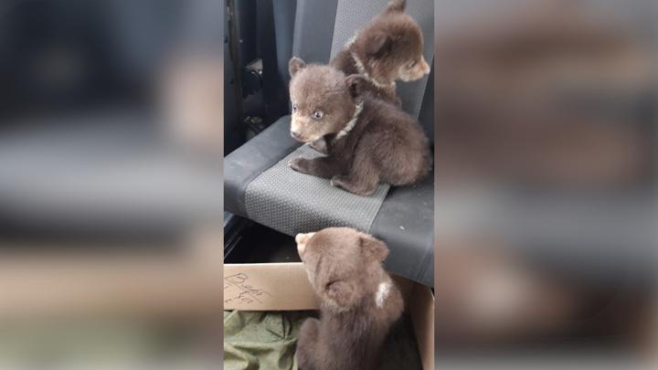 Карельские лесорубы спасли детенышей сбежавшей медведицы