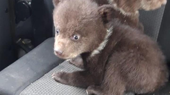 При заготовке леса в Карелии нашли берлогу с медвежатами
