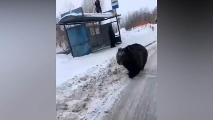 """""""Ты мой зайка!"""": гулявшему по Нижневартовску медведю ищут нового хозяина"""
