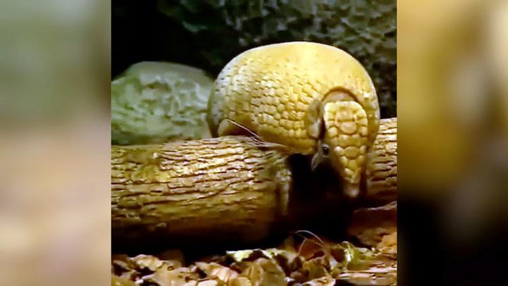 Новосибирский зоопарк показал милое видео с кормлением броненосца