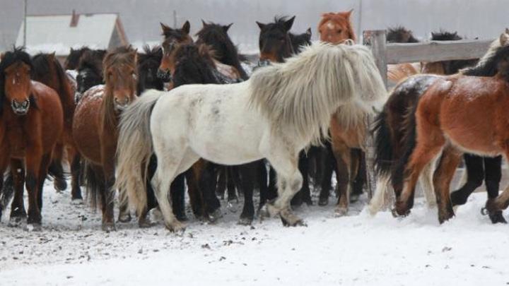 Всероссийский институт коневодства исследует геном бурятской лошади