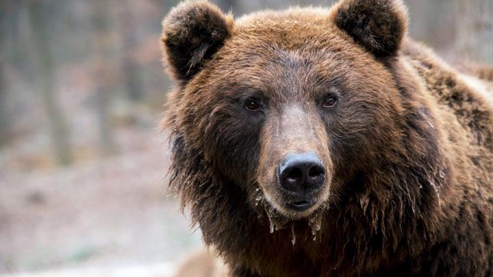 Скандал в Карпатах: крупнейший медведь Европы убит принцем Лихтенштейна