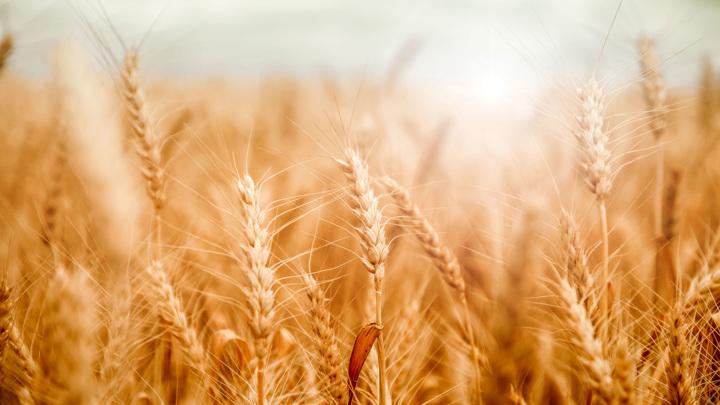 Производители макарон просят ограничить экспорт твердой пшеницы из России
