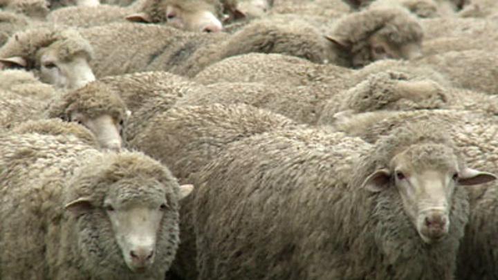 В Волгоградской области школьники украли и продали более 80 овец