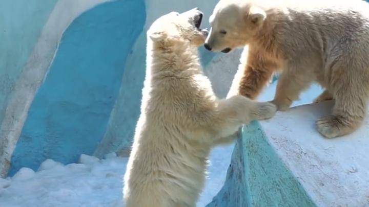 Зоозащитники просят не отправлять новосибирских медвежат в Китай