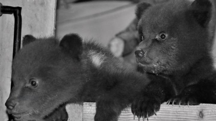 Карельским медвежатам-сиротам дали имена в приюте Тверской области