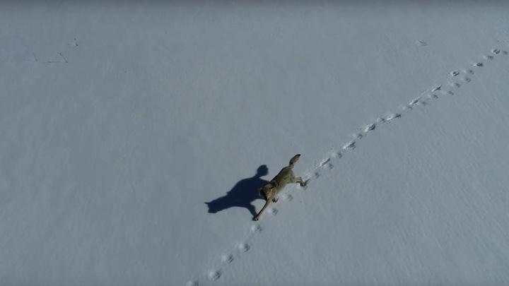 На Урале молодой волк устроил гонки с дроном