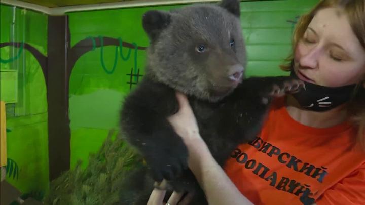 Бэби-бум в Сибирском зоопарке: медвежата-сироты и козлята-двойняшки