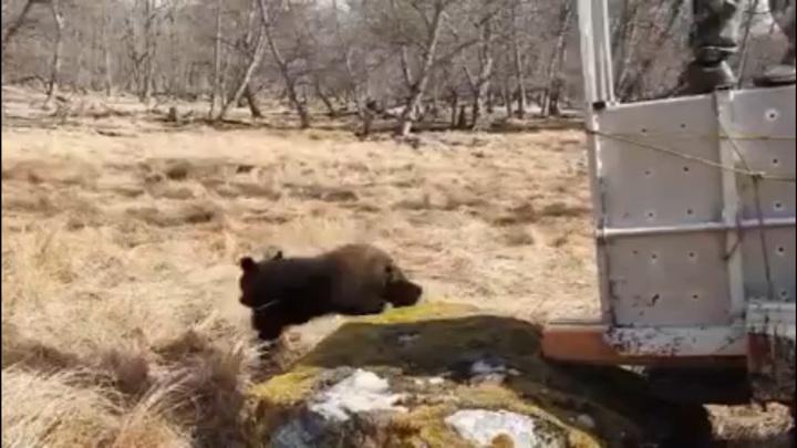 Медвежонка, прибившегося к семье в Приморье, выпустили на волю