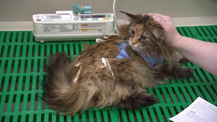 ВОЗ: животные могут заразиться COVID-19 от человека