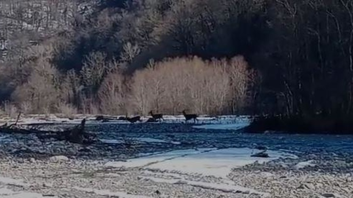 Краснокнижные кавказские олени попали на видео в сочинском нацпарке
