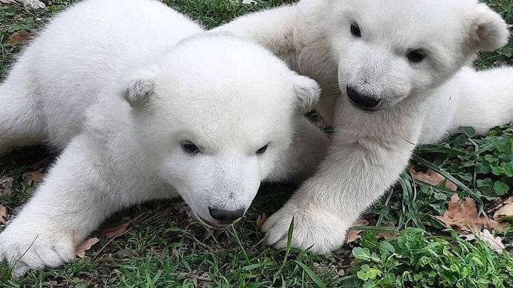 В Сафари-парке Геленджика белым медвежатам выбрали имена