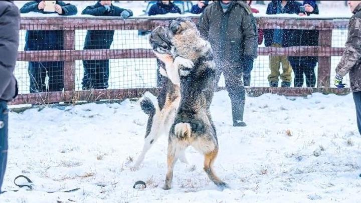 Полиция проведет проверку после опубликованных фото с собачьих боев в Ишиме