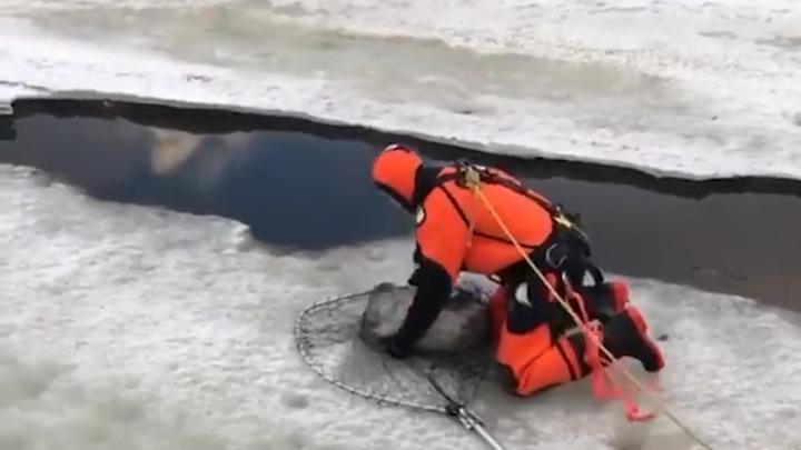 Детеныша нерпы спасли в Санкт-Петербурге