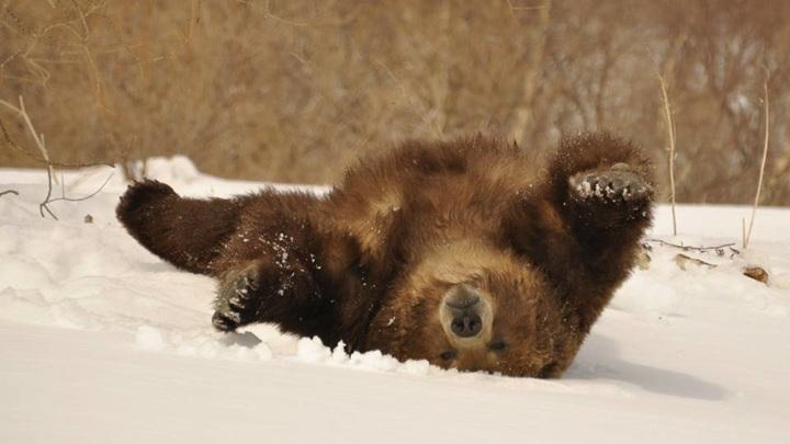 Медведи выходят из спячки в Прибайкальском национальном парке