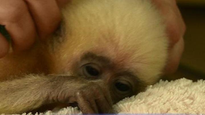 В пензенском зоопарке выхаживают маленького гиббона-сироту