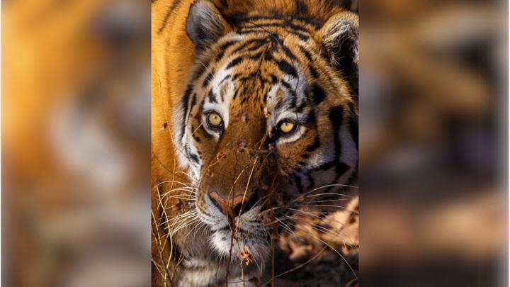 Под Хабаровском неизвестные обезглавили взрослого амурского тигра
