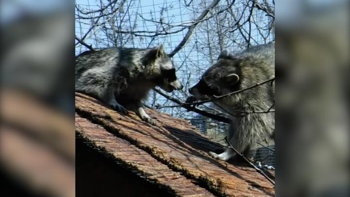 Еноты в Московском зоопарке устроили перепалку