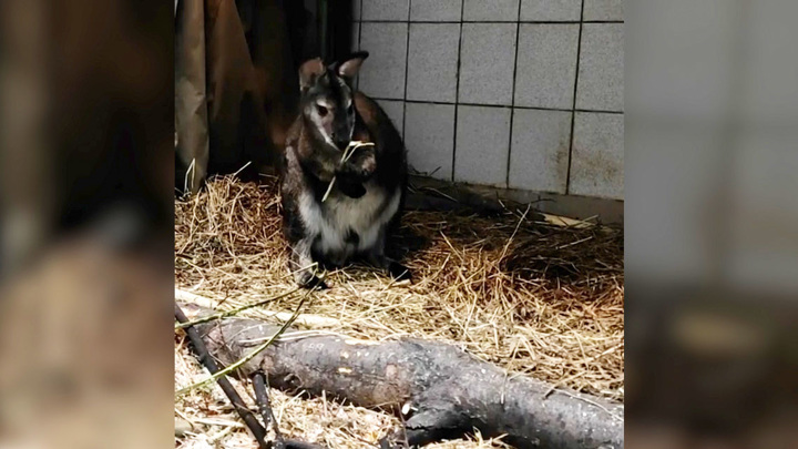 В Московском зоопарке поселились карликовые кенгуру