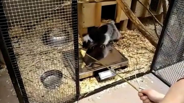 Крысу Ираиду выманили на весы едой
